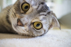 cat looking at camera Royalty Free Stock Photo