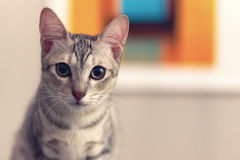A cat looking at camera. Selective focus royalty free stock photography