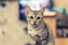 A cat looking at camera. Selective focus royalty free stock images