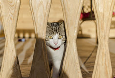 Cat. Looking attentively through wood beams Stock Photography