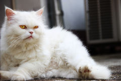 Cat looking at the camera. White cat looking at the camera Royalty Free Stock Photos