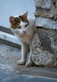 Cat Looking Cautiously Around Corner doméstica fotografia de stock royalty free