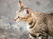 Cat looking. Close up brown cat looking Stock Images