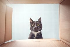 Cat looking curiously inside a cardboard box. Shot from the inside of a cardboard box. A black and white cat is peeking down into the the box stock photography