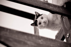 CAT LOOKING DOWN IN BLACK AND WHITE. Black and white cat looking down from above Royalty Free Stock Photography