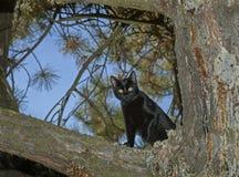 Cat Looking Down preta de um pinheiro fotos de stock royalty free