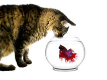 Cat looking at fish in a bowl Royalty Free Stock Photos