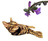 Cat looking at flower. Cat lying on side looking at blooming flower, isolated on white background with copy space Stock Image