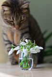 Cat looking at flowers. Tabby cat looking at a bunch of snowdrops stock images