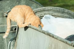 Cat looking for food in the dumpster garbage can to eat. Royalty Free Stock Photos