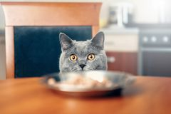 Cat is looking at food at the table. Cat watches over the food, sly beautiful British gray cat, close-up, cat looks out from under the table royalty free stock image