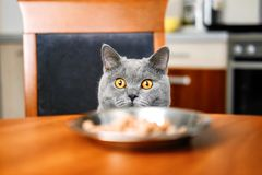 Cat is looking at food at the table royalty free stock photo