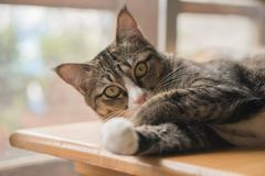 The cat is looking forward and looking cute. royalty free stock photos