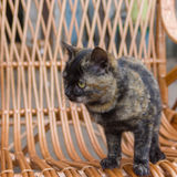Cat looking for fun on the wicker furniture Stock Photography