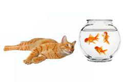 Cat Looking at a Gold Fish. On White Background Royalty Free Stock Photography