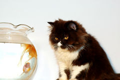Cat looking at gold fish Royalty Free Stock Images