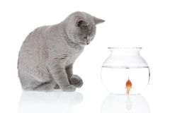 Cat looking at a goldfish 2 Royalty Free Stock Image