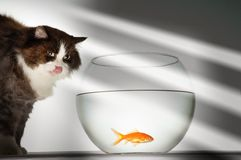 Cat Looking At Goldfish Royalty Free Stock Photo
