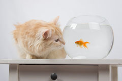 Cat looking at a goldfish in an aquarium Royalty Free Stock Image