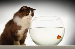 Cat Looking At Goldfish In Fishbowl royalty-vrije stock afbeelding