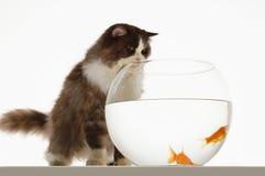 Cat Looking At Goldfish In Fishbowl Stock Photo