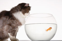 Cat Looking At Goldfish In Fishbowl. Side view of a cat looking at goldfish in a fishbowl against white background Stock Photography