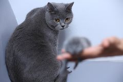 Cat looking at her kitten. Cute small one day old baby cat in a woman hand, first day of life, mom looking, British Shorthair stock image