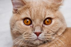 Cat is looking hypnotic at you royalty free stock photos