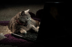 Cat looking  on a laptop Royalty Free Stock Photos