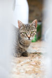Cat looking when lying and lurking while hunting. Portrait of a cat looking at cam with ears raised on stalking hunting attitude / cat looking when lying and Royalty Free Stock Image