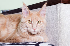 Cat looking Royalty Free Stock Photo