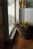 Cat looking for meat in the refrigerator Stock Images
