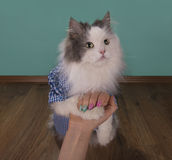 Cat looking new manicure his mom Royalty Free Stock Photos