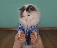 Cat looking new manicure his mom Royalty Free Stock Photo
