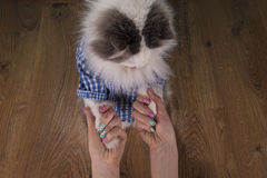 Cat looking new manicure his mom Stock Images