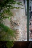 Cat Looking Out la finestra alla pioggia Fotografia Stock