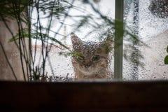 Cat Looking Out la finestra alla pioggia Fotografie Stock Libere da Diritti