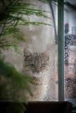 Cat Looking Out la finestra alla pioggia Immagine Stock