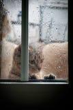 Cat Looking Out la ventana en la lluvia Imagen de archivo libre de regalías