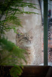 Cat Looking Out la ventana en la lluvia Foto de archivo