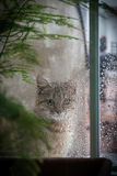 Cat Looking Out la ventana en la lluvia Imagen de archivo