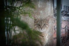 Cat Looking Out la ventana en la lluvia Fotografía de archivo libre de regalías