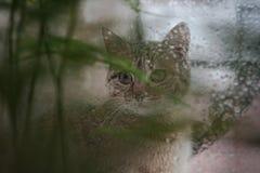 Cat Looking Out la ventana en la lluvia Fotografía de archivo