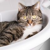 Cat looking out of a sink. Tiger cat relaxing in a sink and looking out saying here is my restroom Royalty Free Stock Photos