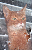 Cat looking out the window. Abyssinian cat looking out a window with a torn screen Royalty Free Stock Photos