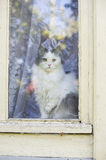 Cat looking out the window Royalty Free Stock Photo
