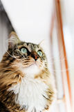 Cat looking out the window Royalty Free Stock Photos