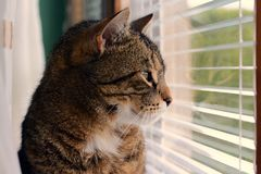 Cat looking out the window. Domestic cat looking out the window Royalty Free Stock Image