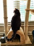 Cat Looking Out Window Longing a estar fora imagens de stock royalty free