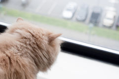 Cat looking out the window Royalty Free Stock Images